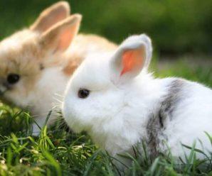 Tipos de conejos enanos