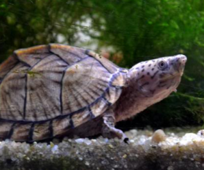 Cuidados y tipos de tortugas de agua dulce