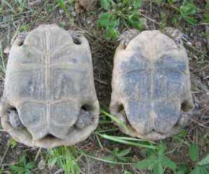 Diferencia entre tortuga hembra y macho