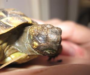 La tortuga no abre los ojos | Causas y soluciones