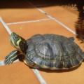 Cuánto tiempo debe la tortuga tomar el sol
