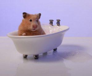 ¿Cómo bañar a mi hámster?