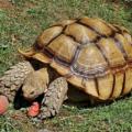Como saber la edad de la tortuga