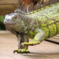 Desparasitación de la iguana