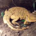 ¿Cuántos huevos pone una iguana?