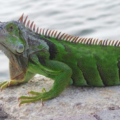 Mi iguana está débil