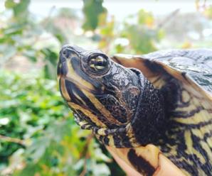 Ojos irritados o hinchados en la tortuga | Como curarla