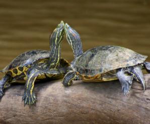 Como saber cuando la tortuga macho está en celo