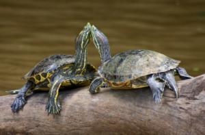 Celo en tortugas macho