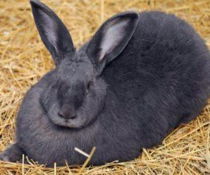 Conejos gigantes ¿Qué cuidados necesitan?