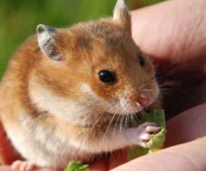 Diferencias entre los hámsters y ratones