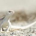 Iguana blanca