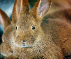 ¿Porque mi conejo orina rojo o naranja?