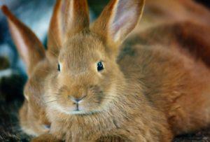 porque mi conejo orina rojo o naranja