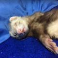 Como hacer dormir a un hurón