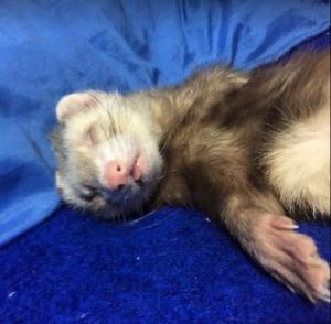Como dormir a un hurón