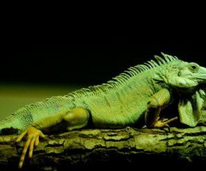 Deshidratación en iguana