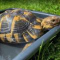 Como lavar o limpiar el caparazón de una tortuga