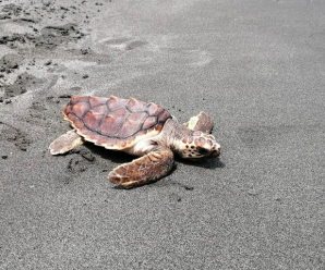 Principales características de la tortuga caguama