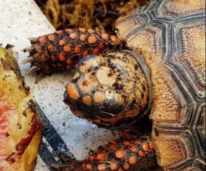 Todo sobre la tortuga patas rojas o morrocoy (Geochelone carbonaria)
