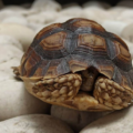 ¿Por qué la tortuga no sale de su caparazón?