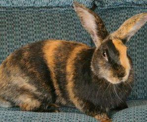 Conejo arlequín | Todo lo que necesitas saber
