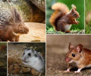 ¿Cuáles son las diferencias de los tipos de roedores que existen?