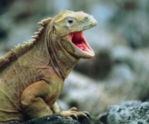 ¿Por qué la iguana toma el sol con la boca abierta?