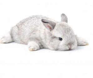 Moquillo en conejos (Pasteurelosis)