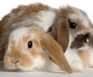 Razas de conejos que puedes tener como mascotas