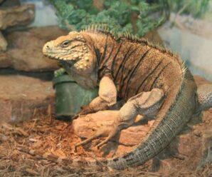 ¿Cómo cortar las uñas de la iguana?