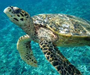 Descripción de la Tortuga carey y el por qué está en peligro de extinción