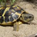 Preguntas frecuentes sobre las tortugas   conócelas antes de tener una