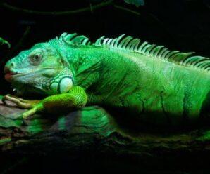 ¿Cuáles son las preguntas más frecuentes sobre la iguana?