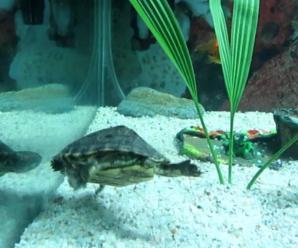 ¿Porque la tortuga no quiere salir del agua?
