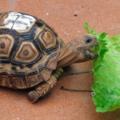 ¿Por qué la tortuga solo quiere comer lechuga?   ¿Qué hacer?