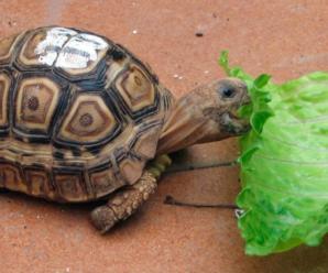 ¿Por qué la tortuga solo quiere comer lechuga? | ¿Qué hacer?