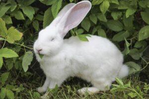 cruza de conejos de diferentes razas