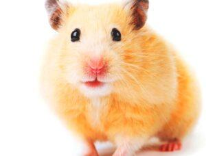 cual es el habitat natural de los hamsters