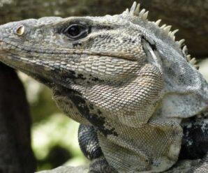 Iguana de Yucatán (Cachryx defensor)