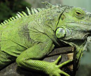 ¿Las iguanas tienen sentimientos?