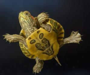 Comportamiento de las tortugas o quelonios