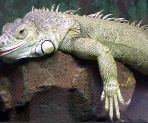 ¿Qué enfermedad tiene la iguana?
