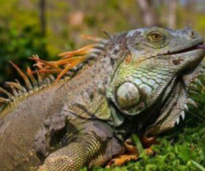 La boca de la iguana está inflamada