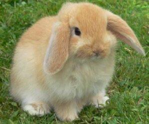 Las razas de conejos más raras que existen