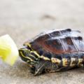 Falta de apetito en las tortugas   Inapetencia