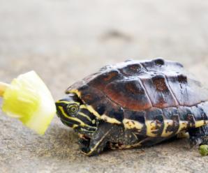 Falta de apetito en las tortugas | Inapetencia