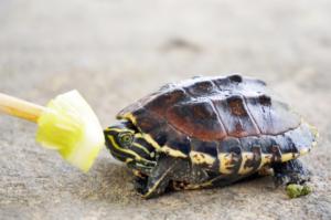 La tortuga no quiere comer inapetencia