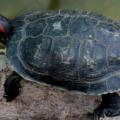 Como eliminar los hongos en las tortugas