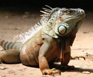 Iguana defeca blanco